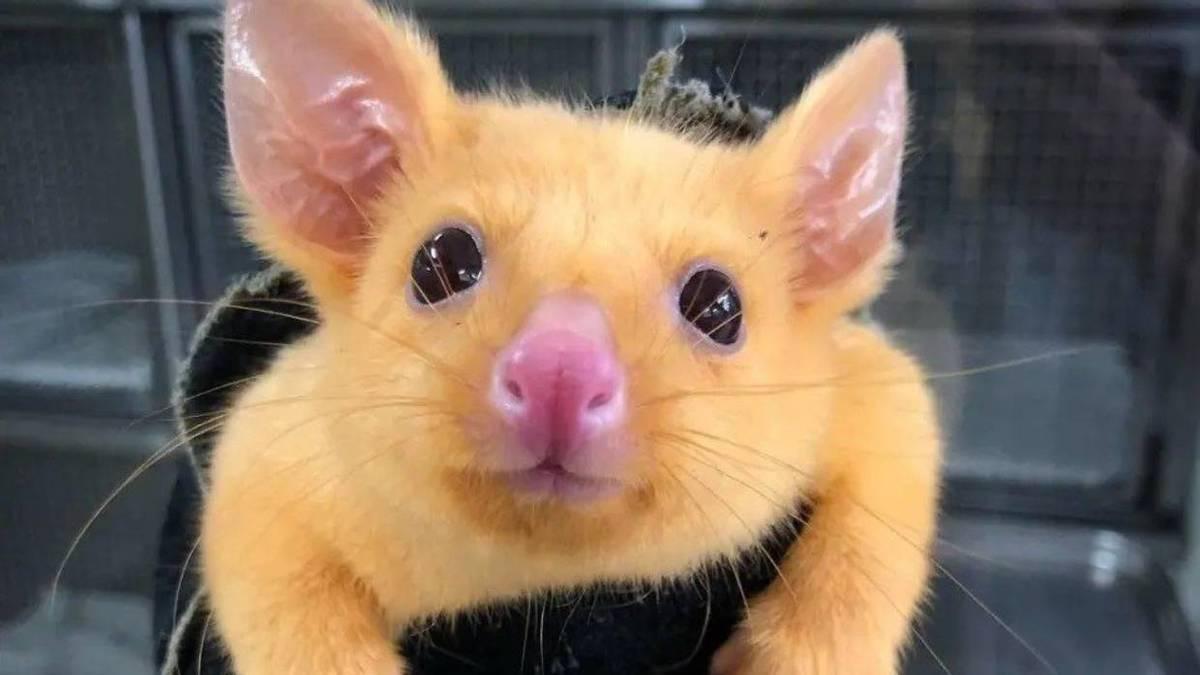 Найден ярко-жёлтый зверёк, похожий на Пикачу