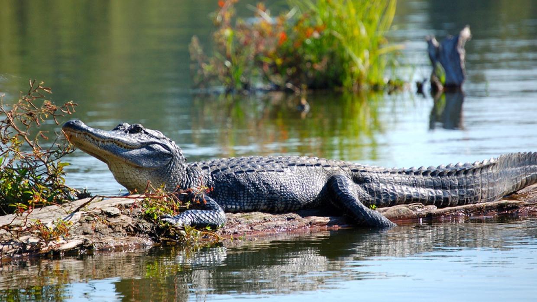 Житель Флориды избил украденного из парка для мини-гольфа аллигатора Происшествия