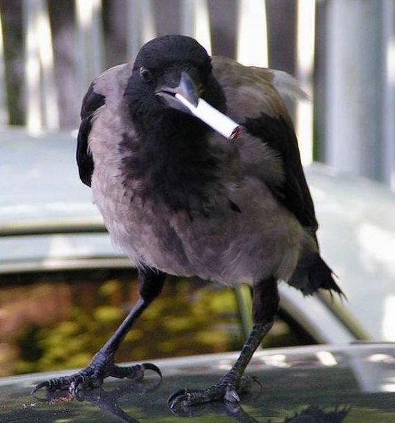 Голландских ворон учат убирать окурки за людьми