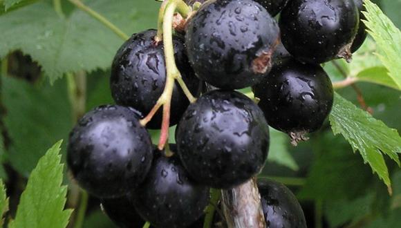 Смородина сорта Сельская обладает тоже достаточно крупными ягодами