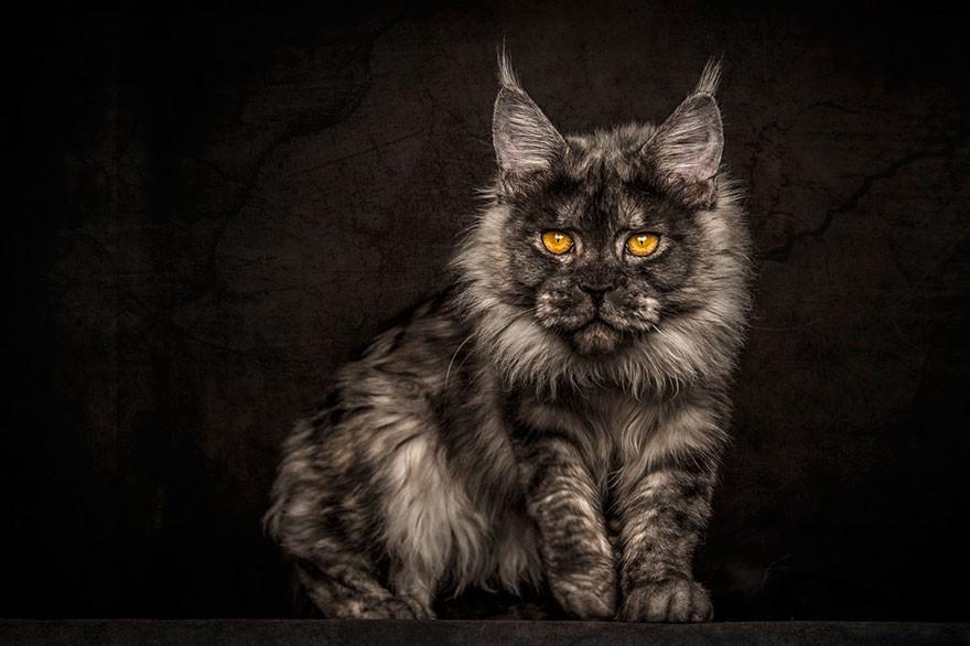 Фотограф снимает суровые и величественные портреты мейн-кунов
