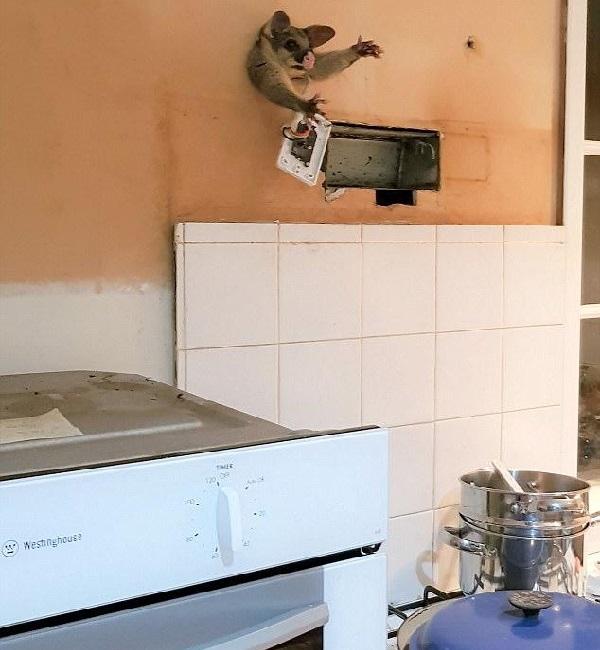 Пришёл на запах! Пухленький поссум собрался проникнуть ночью на чужую кухню, но… застрял в стене!