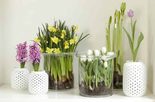 Полезные советы по зимней выгонке луковичных растений дома