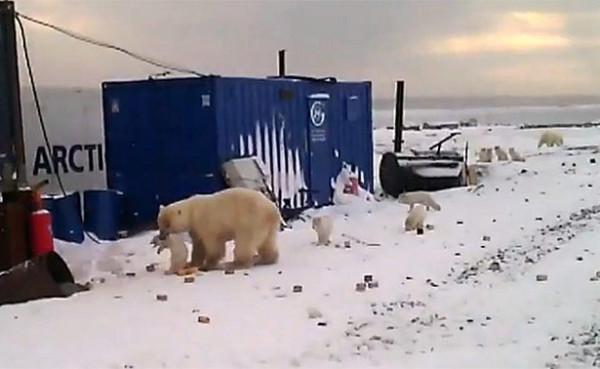 Белый медведь превратил обыч…