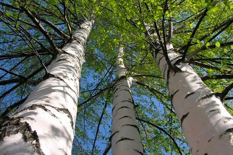 Народные приметы, связанные с деревьями