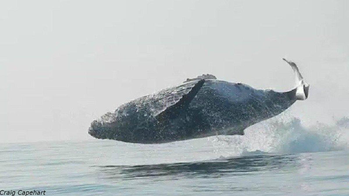 40-тонный горбатый кит целиком выпрыгнул из воды - и здорово напугал туриÑтов