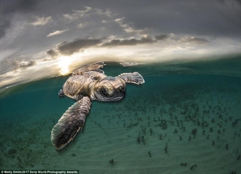 Впервые в море. Только что вылупившийся черепашонок у берегов Папуа Новой Гвинеи искусство, конкурс, красота, фото