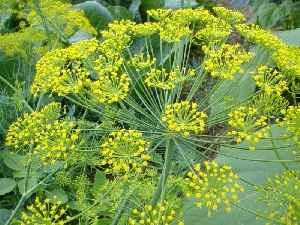 Укропное семя: лечебные свой…