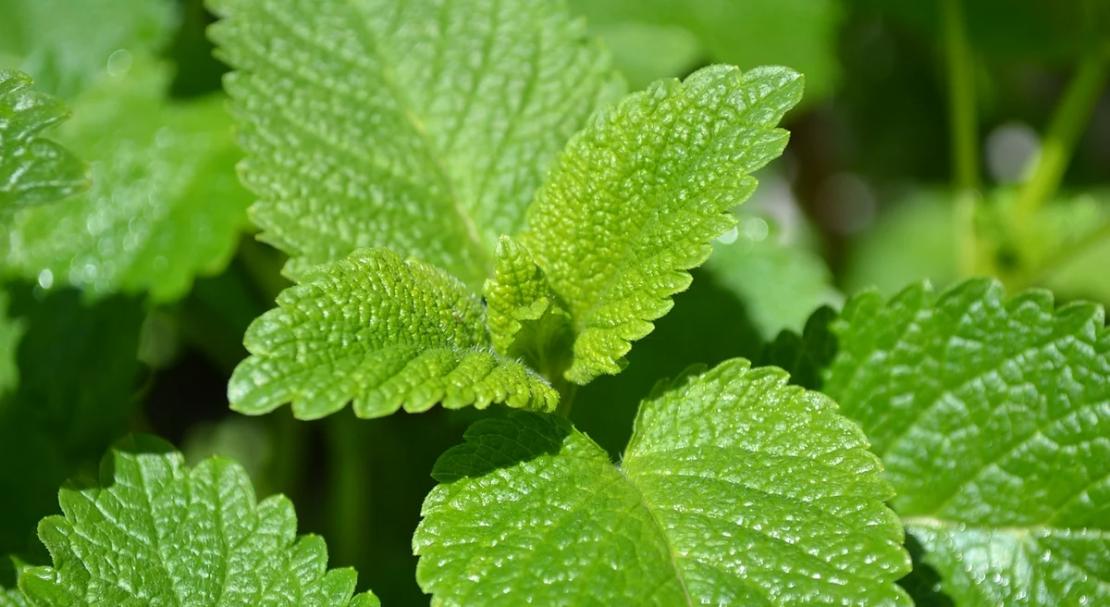 Как отличить лекарственные растения от их двойников лекарственные растения,растения