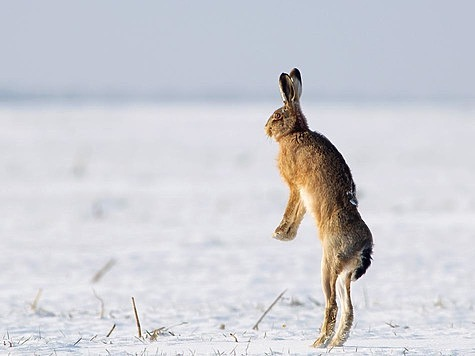 Тропление русака: честно добытый заяц