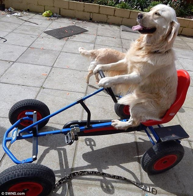 Doggy pedal: Mr Reid noticed his dog had special talents when he was a puppy and said he has always been a helping hand