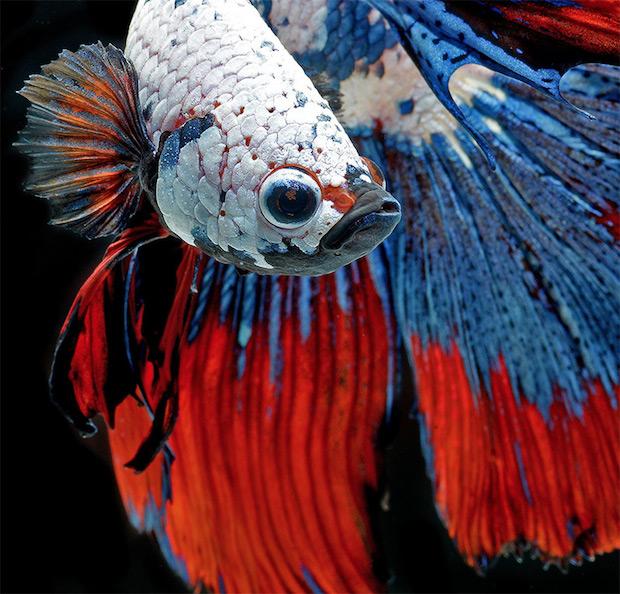 Сиамские боевые рыбы. Захватывающая фото_серия потрясающей красоты