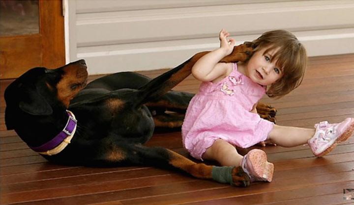 Доберман Хан животные, истории, пёс-герой, собаки