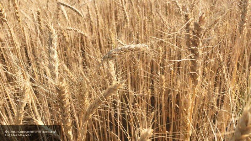 Россия направит в Ирак и Алжир пробную партию твердой пшеницы