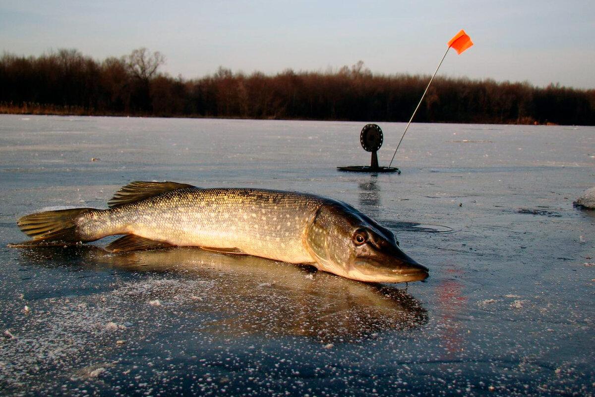 Рыбалка на щуку зимой жерлицей