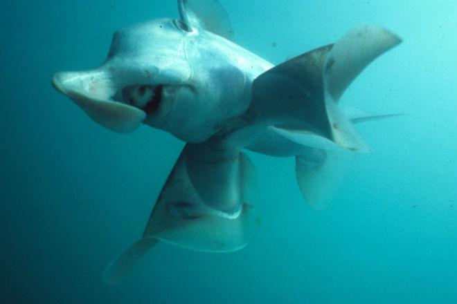 В бездне у Тасмании нашли акул-призраков и светящихся скатов