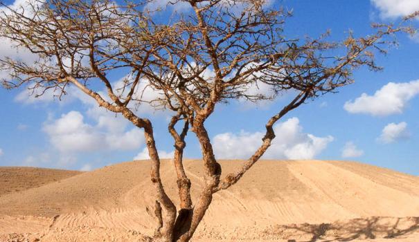 МИР РАСТЕНИЙ. Ладанное дерево