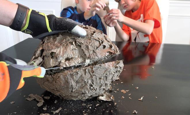 Отец и дети разрезали осиное гнездо. Взгляните, чем заканчиваются такие эксперименты