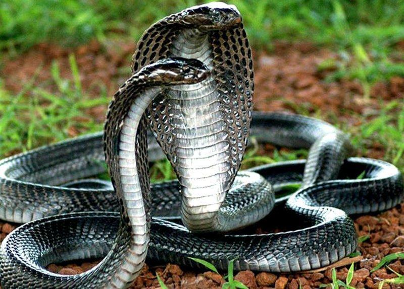 Запасом своего яда королевская кобра может убить 20 человек или слона. информация, картинки, факты