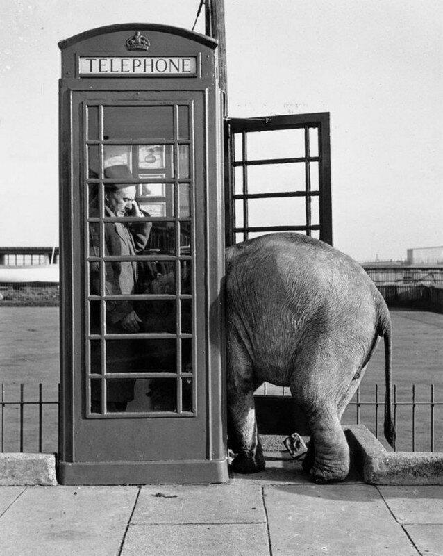 Слонёнок, втискивается в телефонную будку. Великобритания, 1955 год. история, ретро, фото