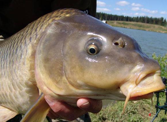 1571. Карп - красивое Видео рыбалки