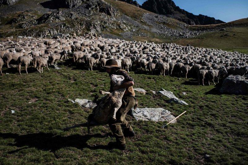 На высоте 2000 метров над маленькой деревушкой в Сен-Коломбан-де-Виллар, Савойя, пастуха больше всего беспокоит туман, когда овцы разбредаются и теряются. Альпы, жизнь, пастух, работа