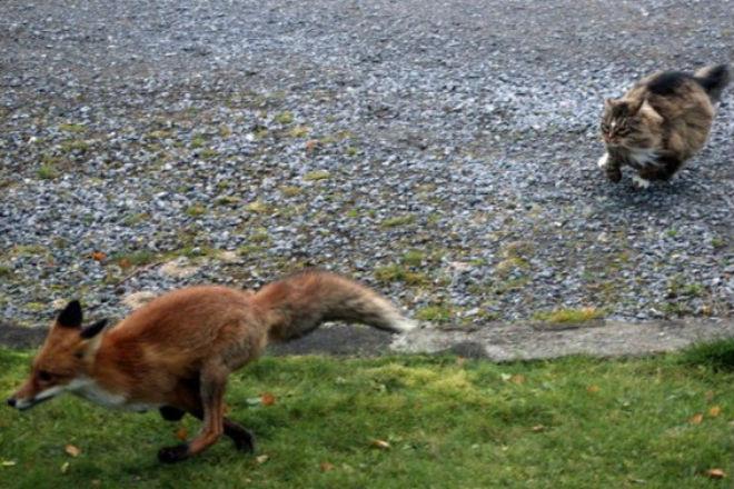 Лиса пришла за добычей и столкнулась со сторожевым котом животные, кот, лиса, природа, пространство
