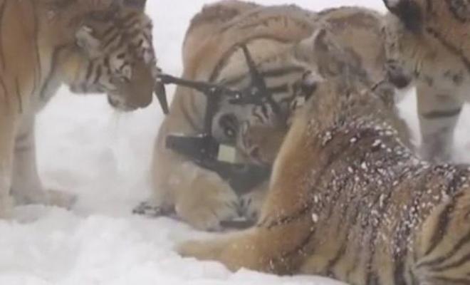 Толстые амурские тигры съели дрон