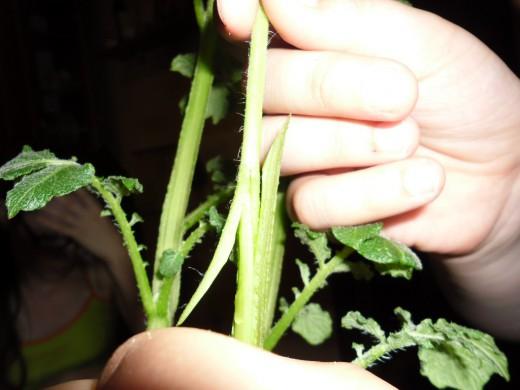 Томатокартофель — урожай томатов и картофеля с одного куста