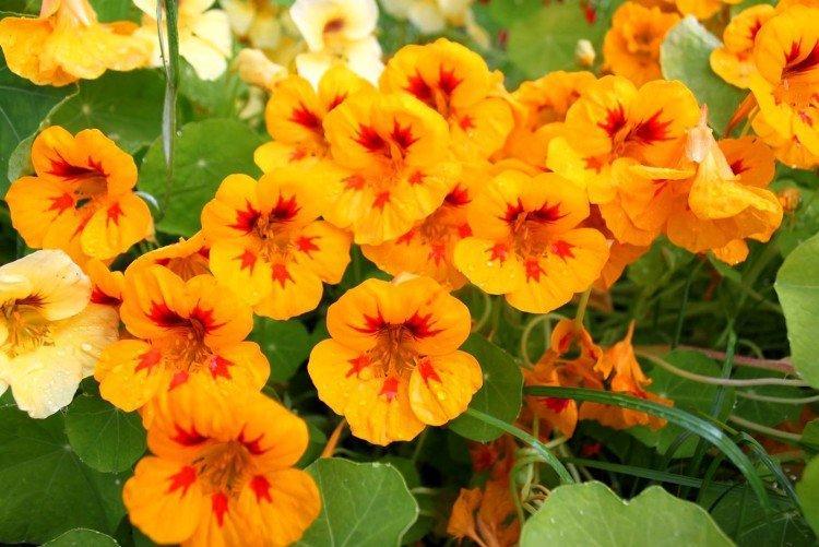 Однолетние цветы для клумбы или дачи: фото с названиями дача,сад и огород,цветоводство