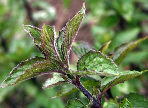 Растения против аллергии здоровье,лекарственные растения,народная медицина