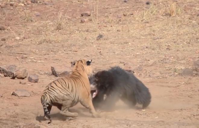 Эпичная драка тигра с медведем попала на видео