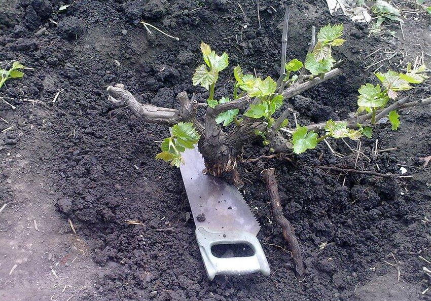 садим виноград весной фото нее невероятно