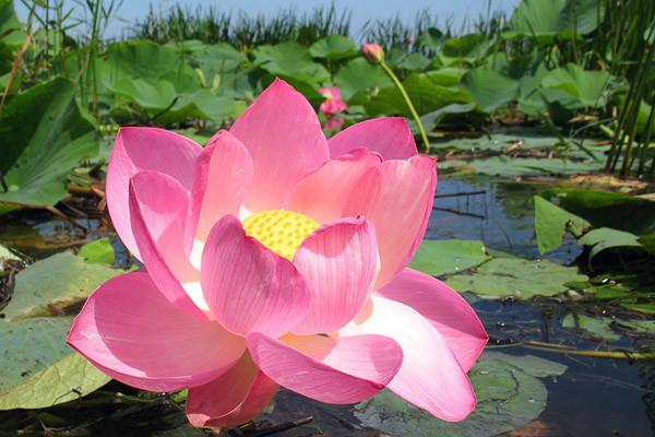 Где цветет лотос Цветение, астрахань, лотос, цветок