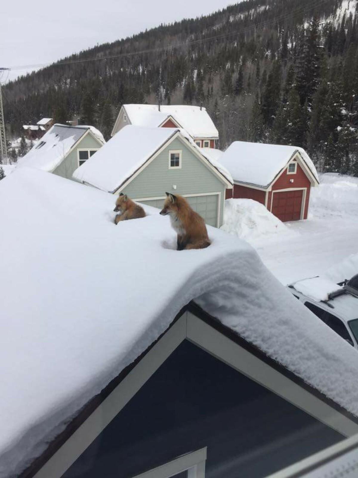 Лисы устроились отдохнуть на заснеженной крыше