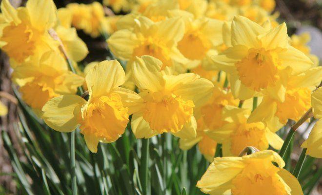 Нарциссы: раскрываем секреты обильного цветения