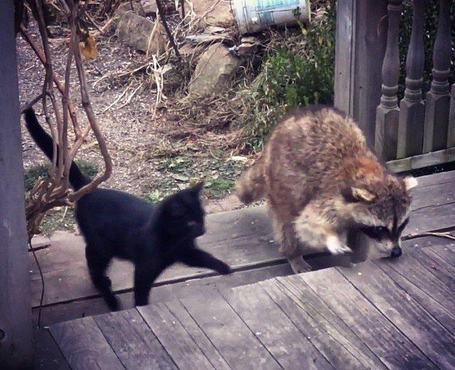 Слепой енот спас двух котят