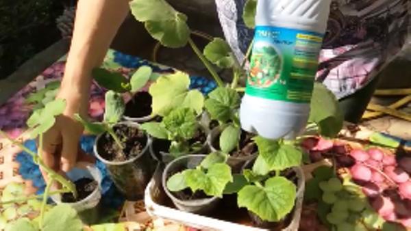 Секрет посадки огурцов в открытый грунт. Органическое земледелие