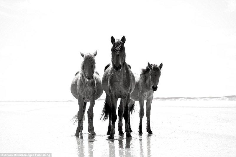 Дикие лошади острова Камберленд