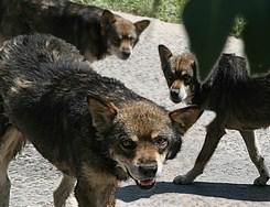 В Подмосковье стая бродячих собак загрызла насмерть мужчину и искалечила женщину