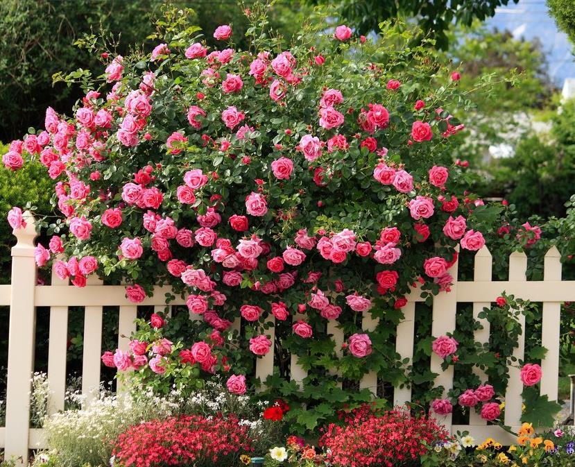 отзывы фото чайная роза в саду боится экспериментировать внешностью