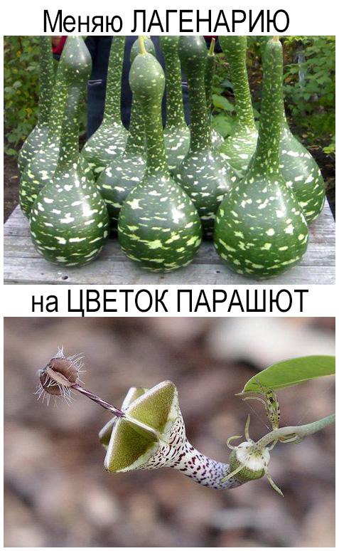 Меняю ЛАГЕНАРИЮ на ЦВЕТОК ПАРАШЮТ