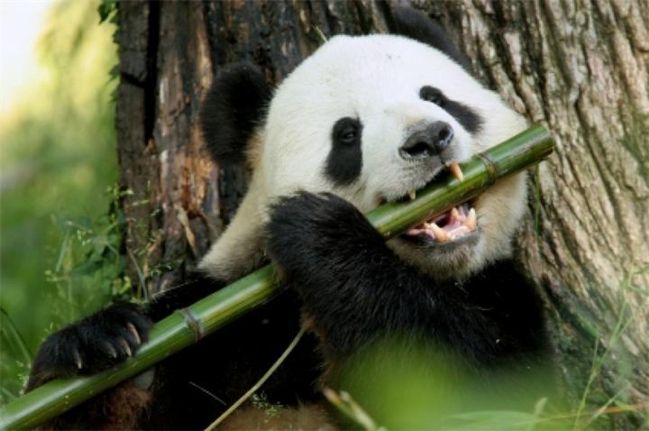 Притворятся беременными научились даже панды!