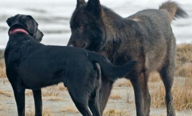 Волк подошел к собаке вплотную: хозяин мог только смотреть волк,животные,Природа,Пространство,собака