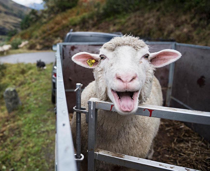 Картинки смешной овцы, для