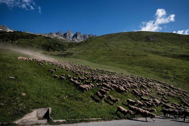 Отара следует «соляным маршрутом». Это след соли, который оставил Меме, чтобы направить животных при выгоне к месту следующего пастбища Альпы, жизнь, пастух, работа
