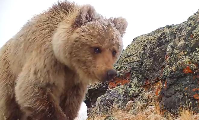 Редкий медведь не попадал на камеры заповедника, а потом выяснилось, что он охотится на фотоловушки