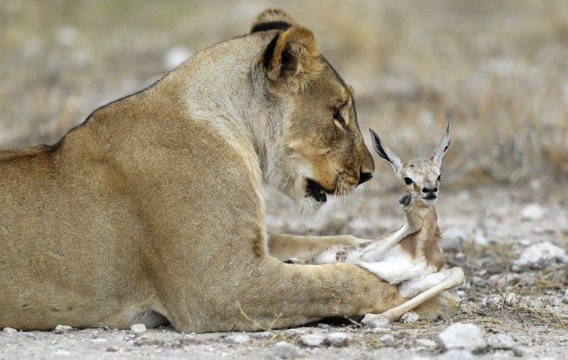 Потерявшая детёнышей львица преодолела горе, приютив маленькую антилопу