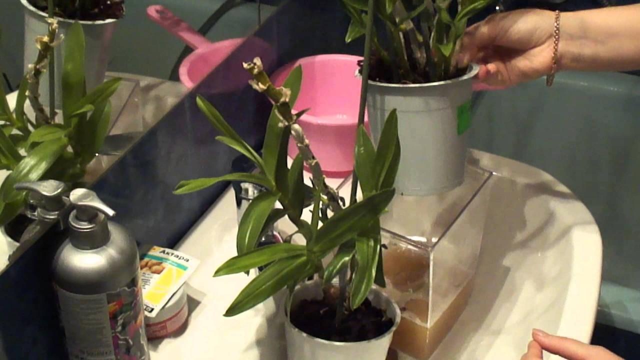 Орхидеи. Борьба с мучнистым червецом продолжается.