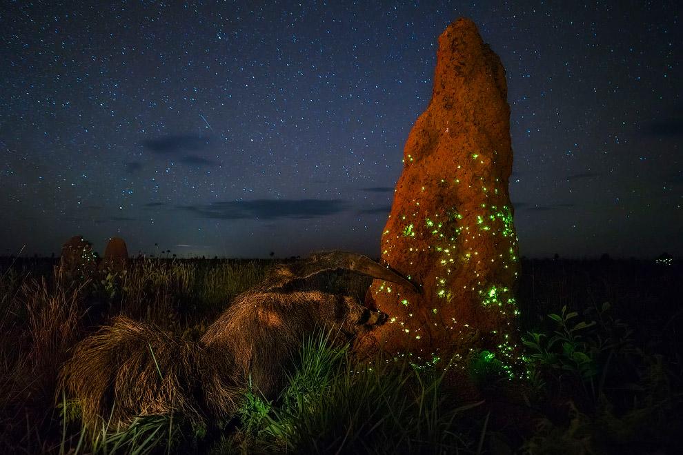 Pyrearinus termitilluminans